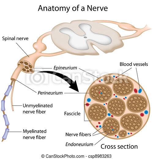anatomi, nerv - csp8983263