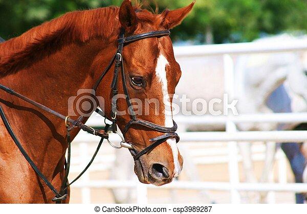 häst, ansikte - csp3989287