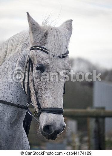 häst, dressyr, existens, grå, träns, ridit, tygel - csp44174129