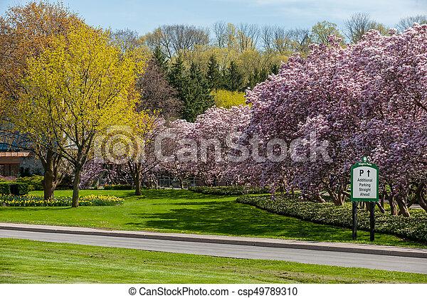 maj, magnolia, niagara, träd, nedgångar - csp49789310