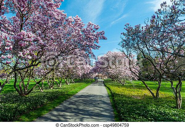 maj, magnolia, niagara, träd, nedgångar - csp49804759